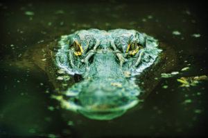 alligatorspread cc