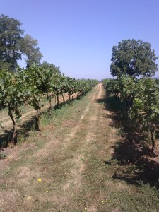 Grape row