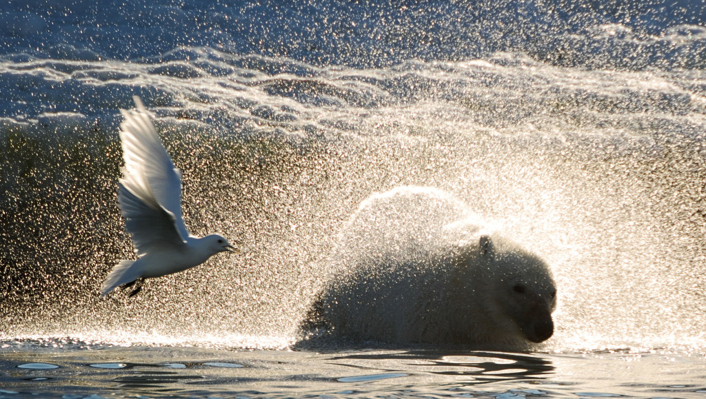 Polar Bears of Spitsbergen