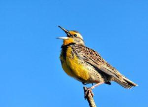 Meadowlark bird chirping.