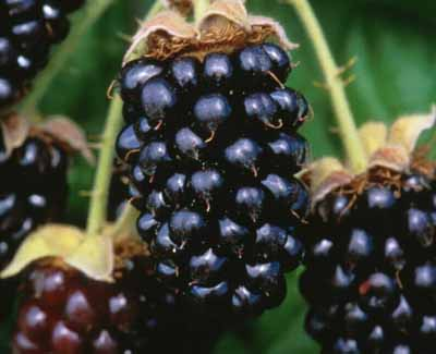 A bunch of marionberries