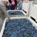 Grapes for wine crushing