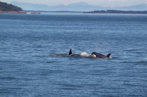 Two young adult orcas chasing each other to illustrate the excitement of a San Juan Islands or Puget Sound cruise.