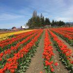 washington tulip cruise